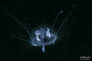 Medusa d'acqua dolce